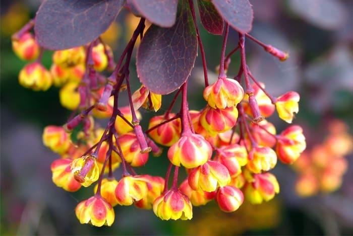 Berberine-fleur en contenant