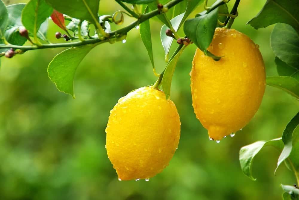 Citrons pour jus