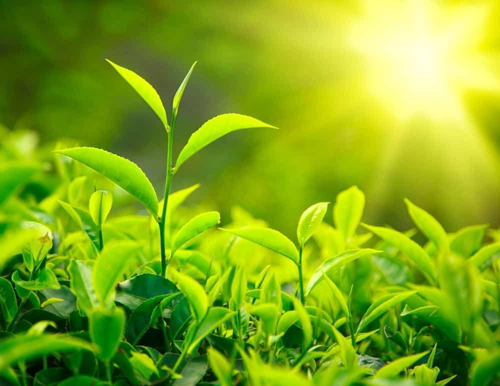 Plantes de the-vert-bienfaits