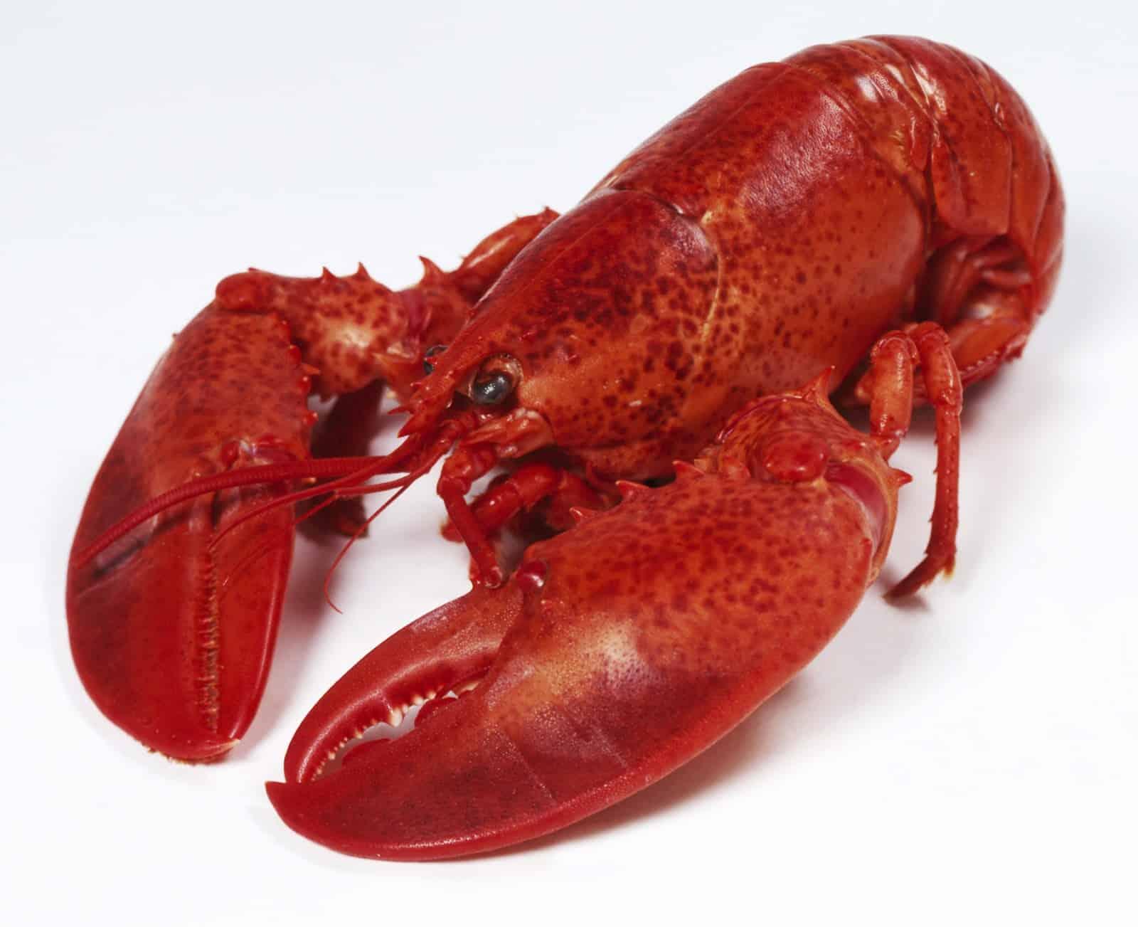8 bienfaits du chitosan-un homard
